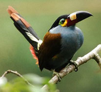 ecuador birding bird watching tours