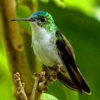 andean emerald at San Jorge de Tandayapa Eco-Lodge & Hummingbird Sanctuary